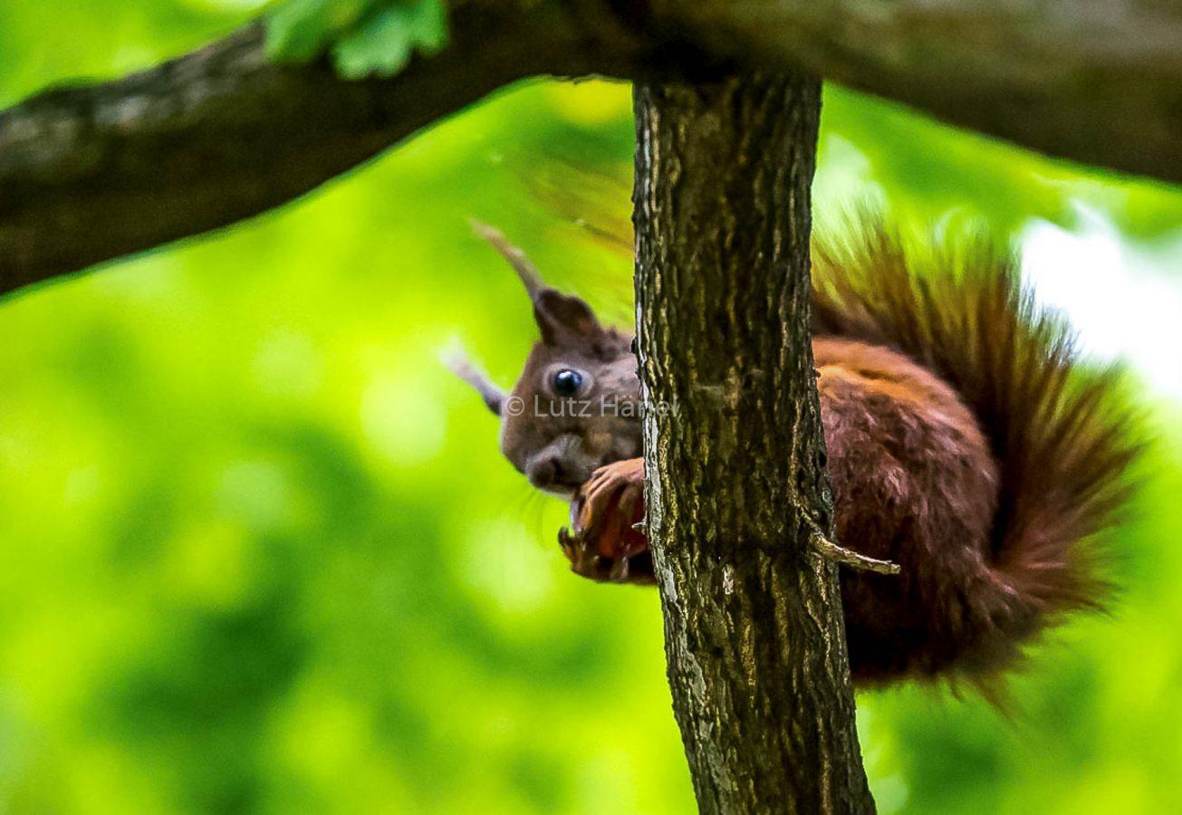 Eichhörnchen im Schlosspark Charlottenburg in Berlin
