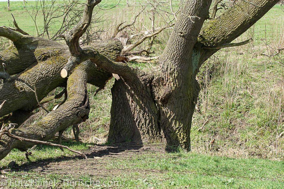 Einer der schönsten Bäume am Löwenzahnpfad hat den Sturm 2017 nicht überstanden