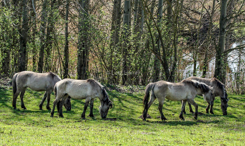 Schönerlinde Teiche Konik Wildpferde die ganz gelassen grasen