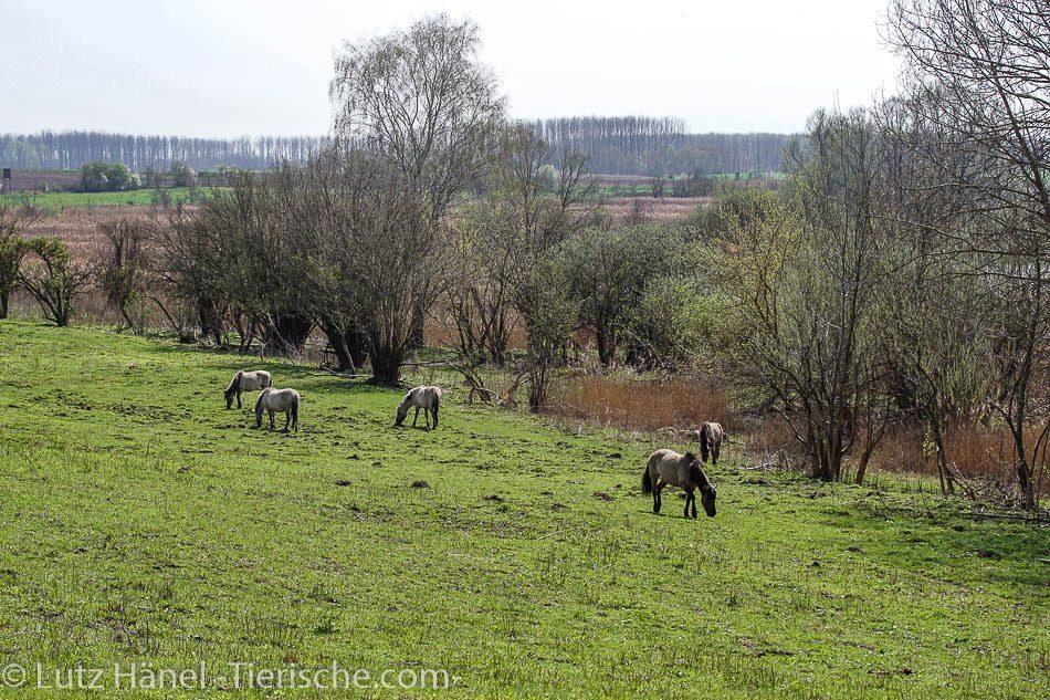 Schönerlinder Teiche mit der Konik Gruppe Wildpferde in der tollen Natur Landschaft