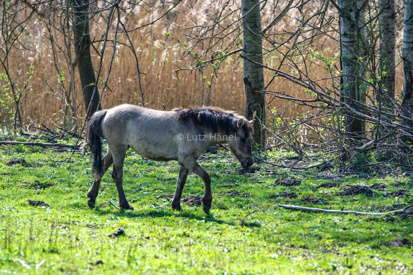 Koniks in Schönerlinder Teiche kann man Wildpferde beobachtet werden
