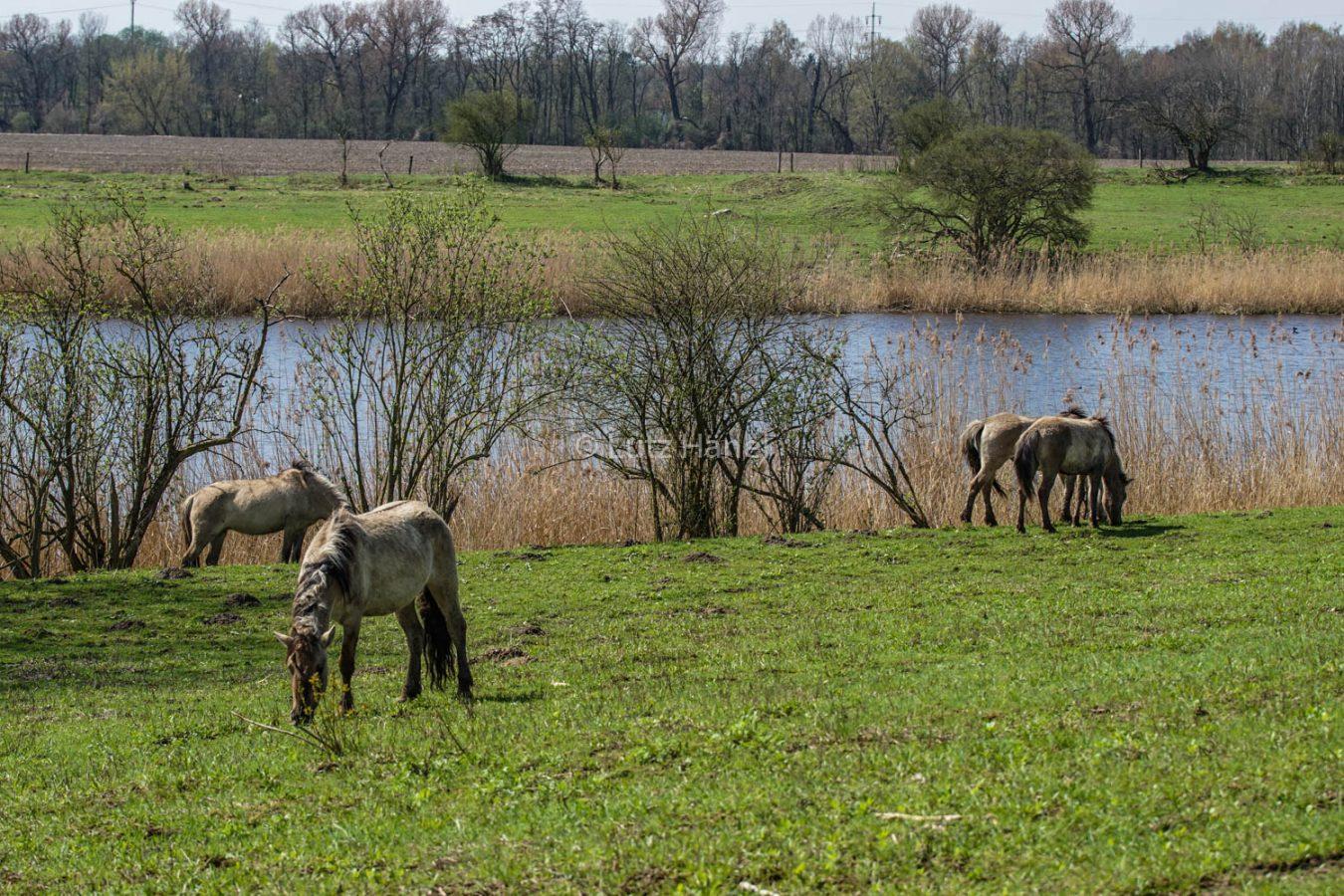 Koniks Wildpferde an den Schönerlinder Teiche