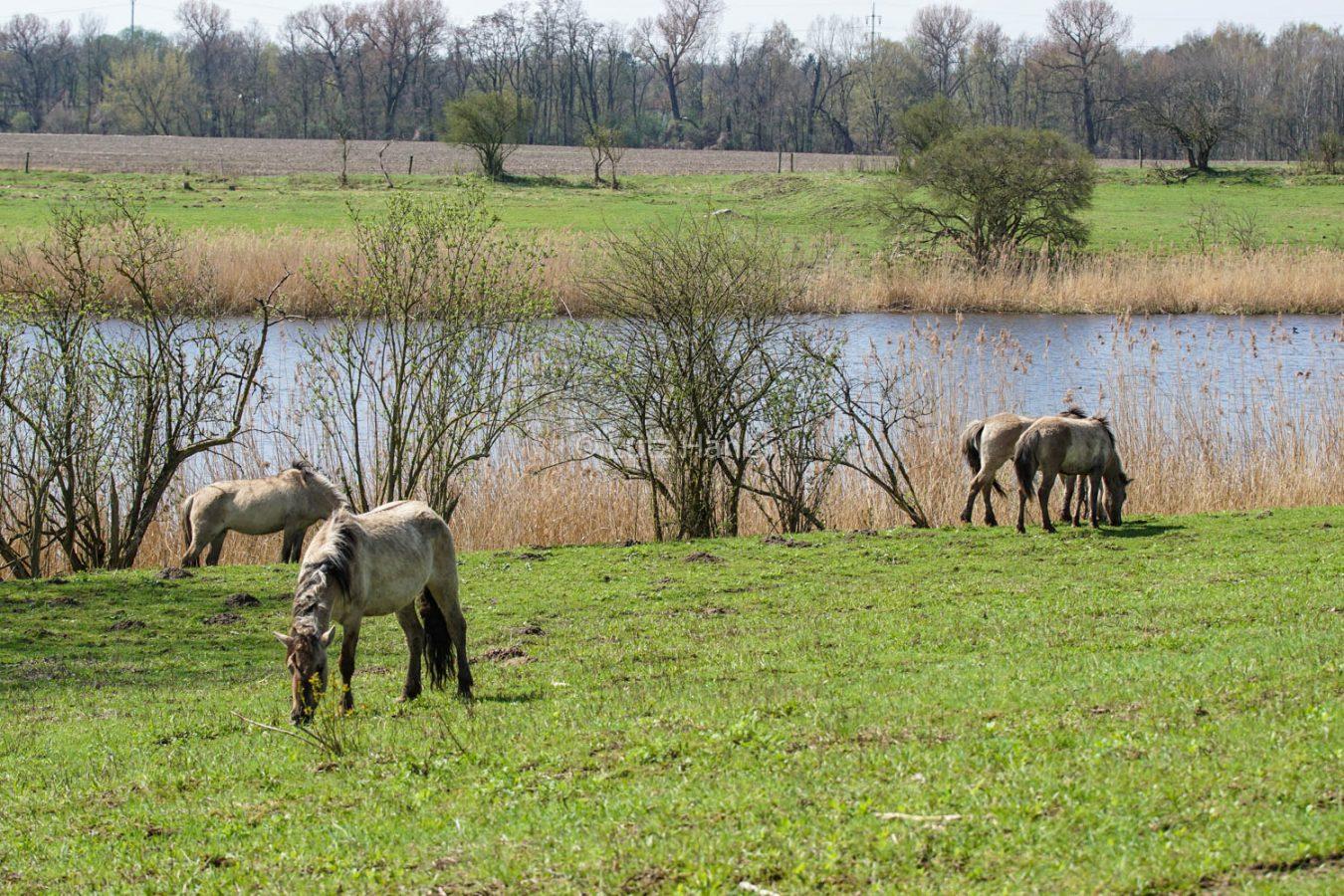 Mühlenbecker Land sind Konik Wildpferde