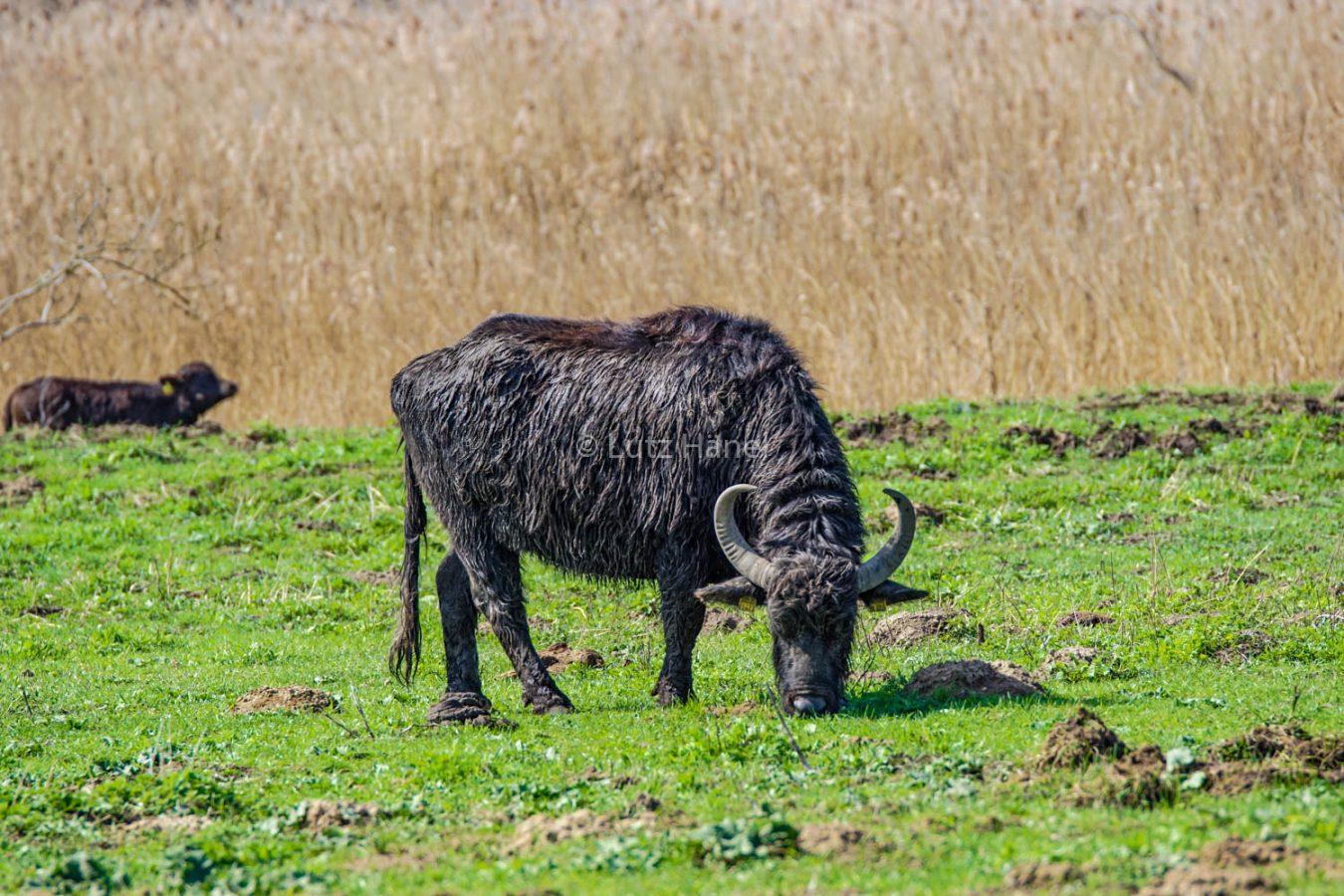 Löwenzahnpfad kann man die Wasserbüffel wunderbar beobachten