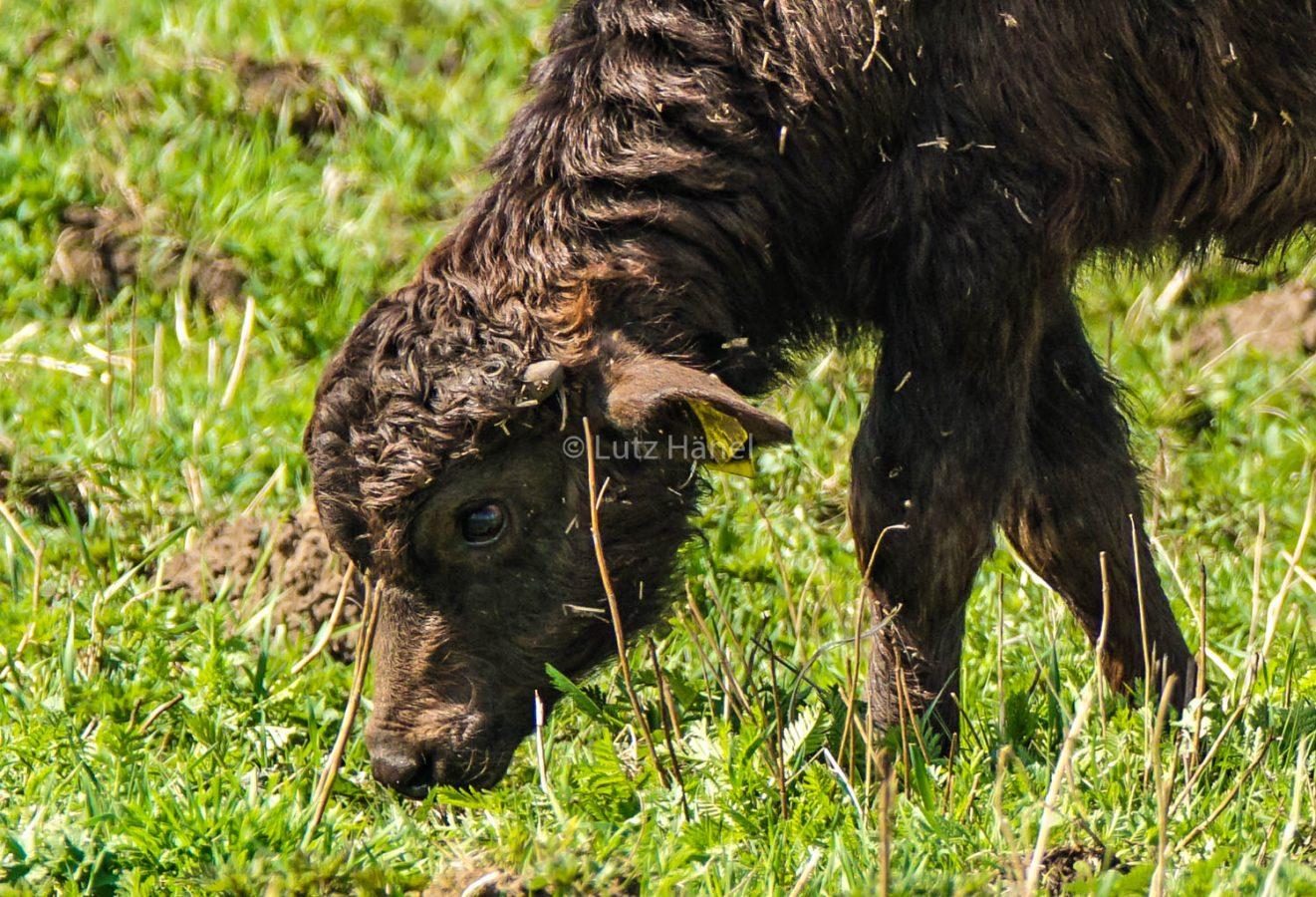 Mühlenbecker Land da grasen junge Wasserbüffel