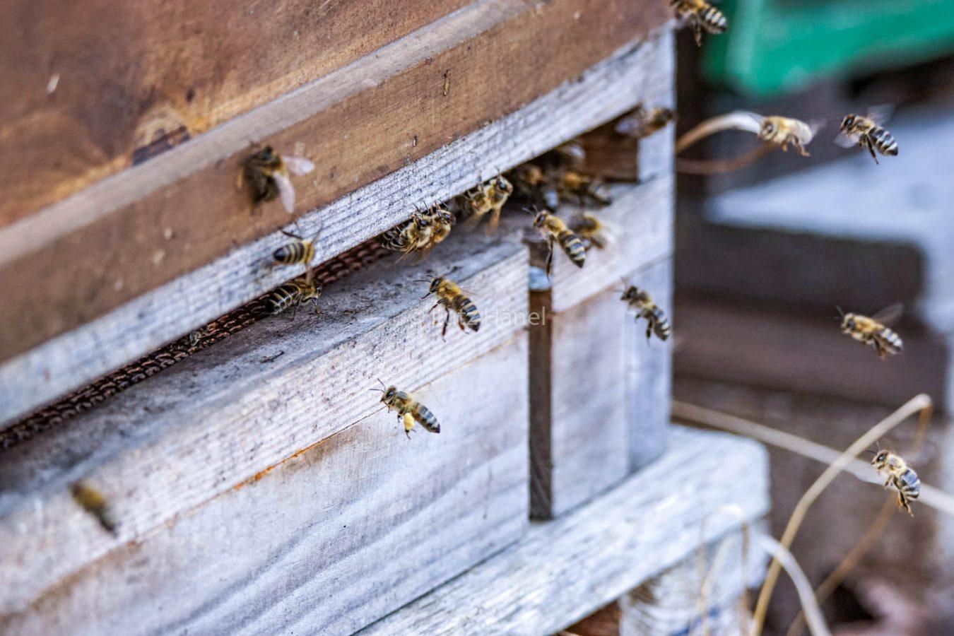 Bienen im Mühlenbecker Land
