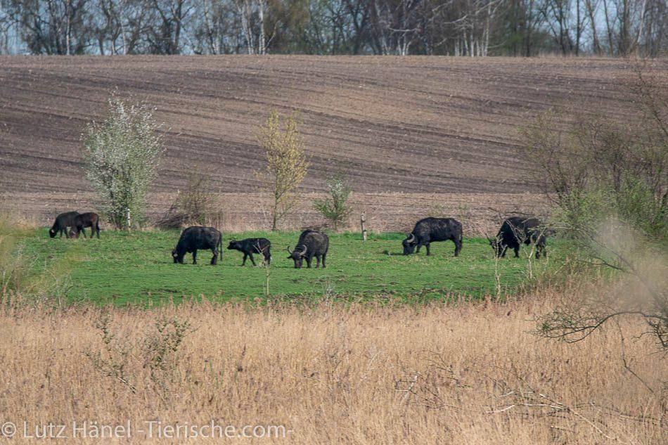 Wasserbüffel Herde in Schönerlinder Teiche