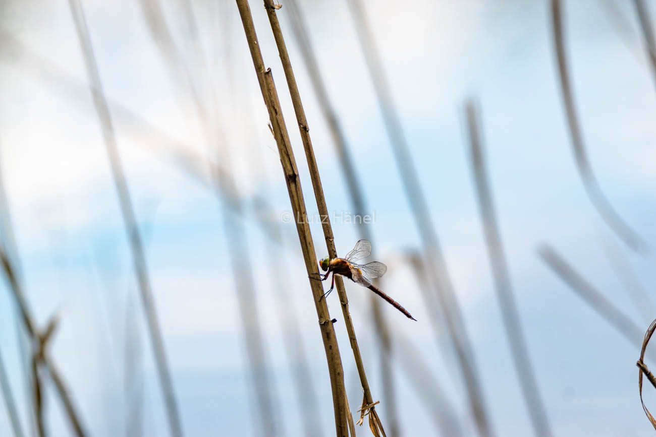 Foto - Libelle im Schilf ist eine Große Heide Libelle