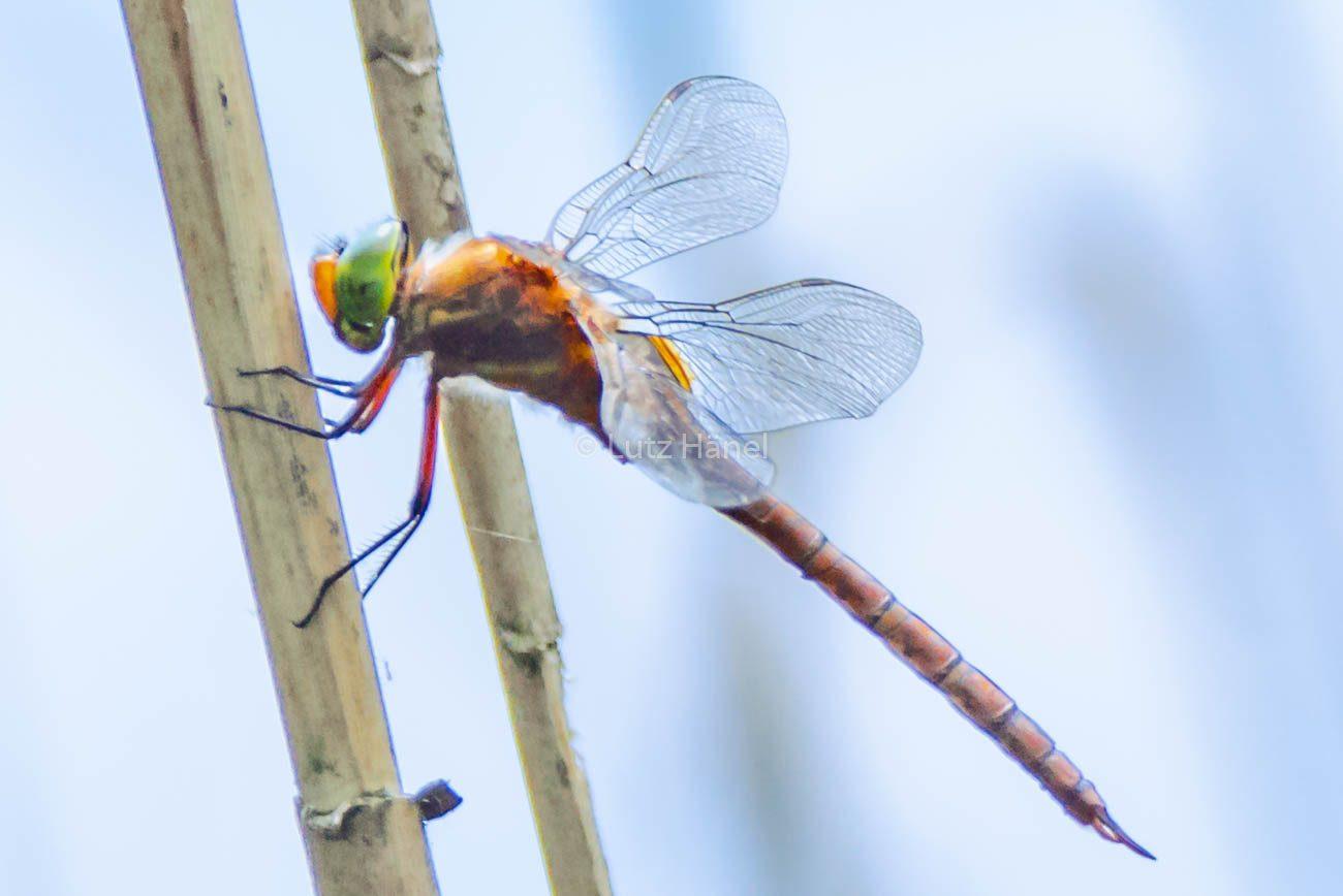 Große Heidelibelle an den Schönerlinder Teichen
