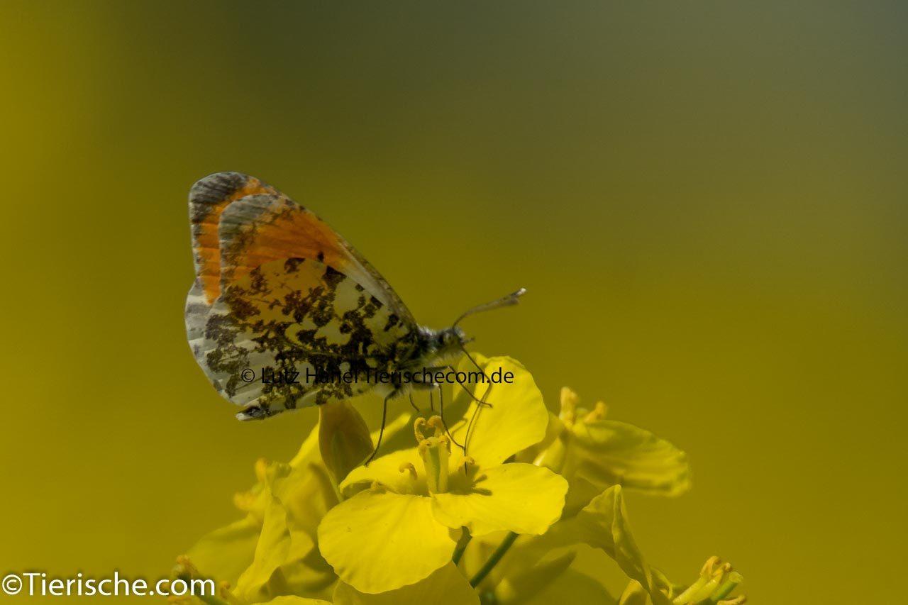 Schmetterlinge-Falter Aurorafalter - Zierlicher Wald-Schmetterling