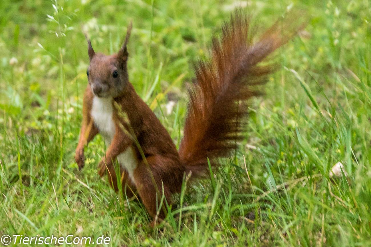 Eichhörnchen kann man mit einwenig Glück sehr häufig in den Berliner Parks entdecken