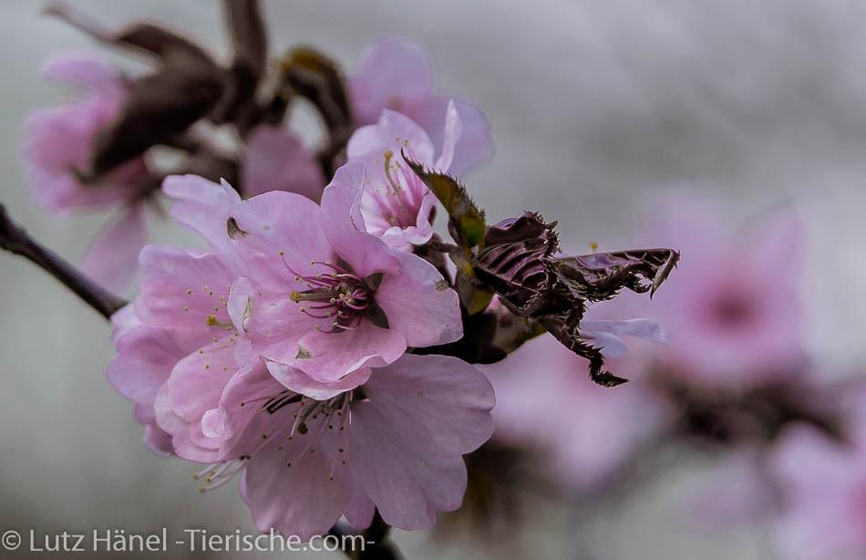 Ein Hauch Japan in den Berlinerparks herrscht jedes Jahr im Frühjahr - Wilde Kischblüten – japanische Kirschblüten