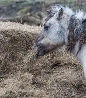 Konik - Wildpferd
